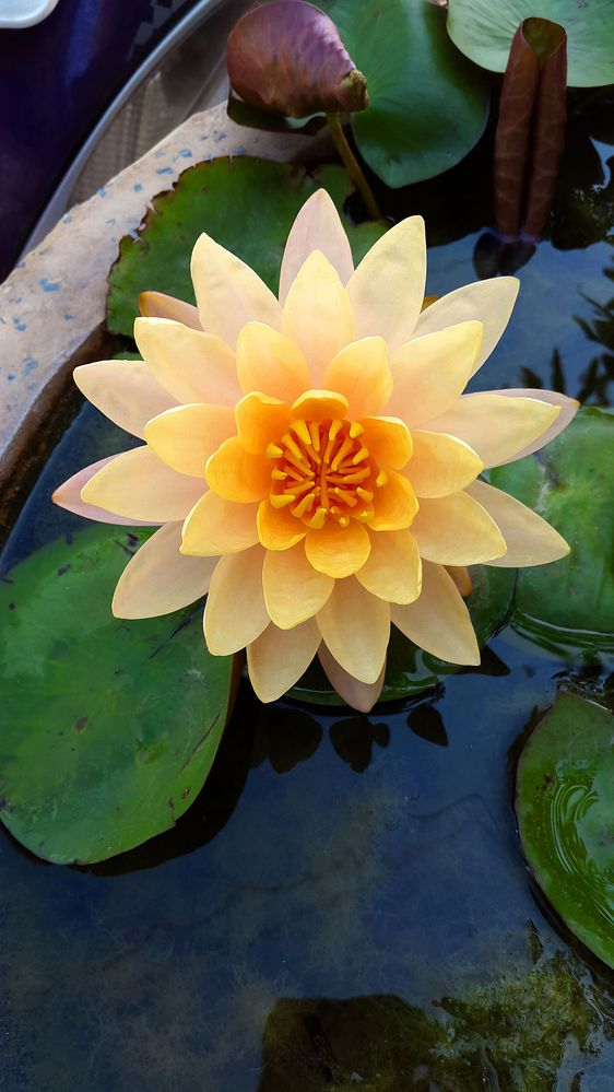 1080px-Water_Lily_in_Hyderabad.jpg