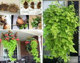 leafy delights from scrap of sweet potato