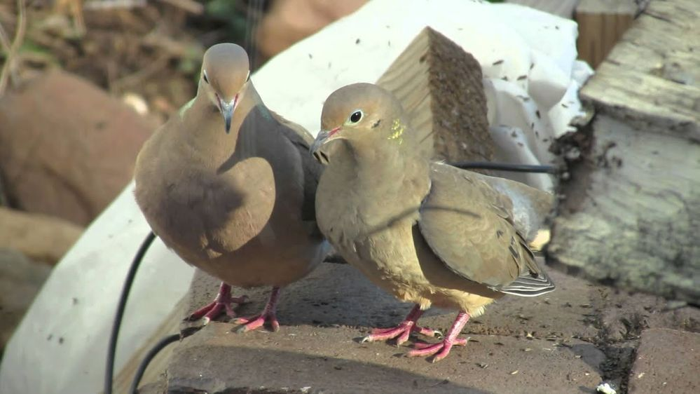 doves.jpg