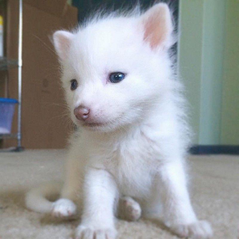 rylai-baby-siberian-red-fox-7.jpg