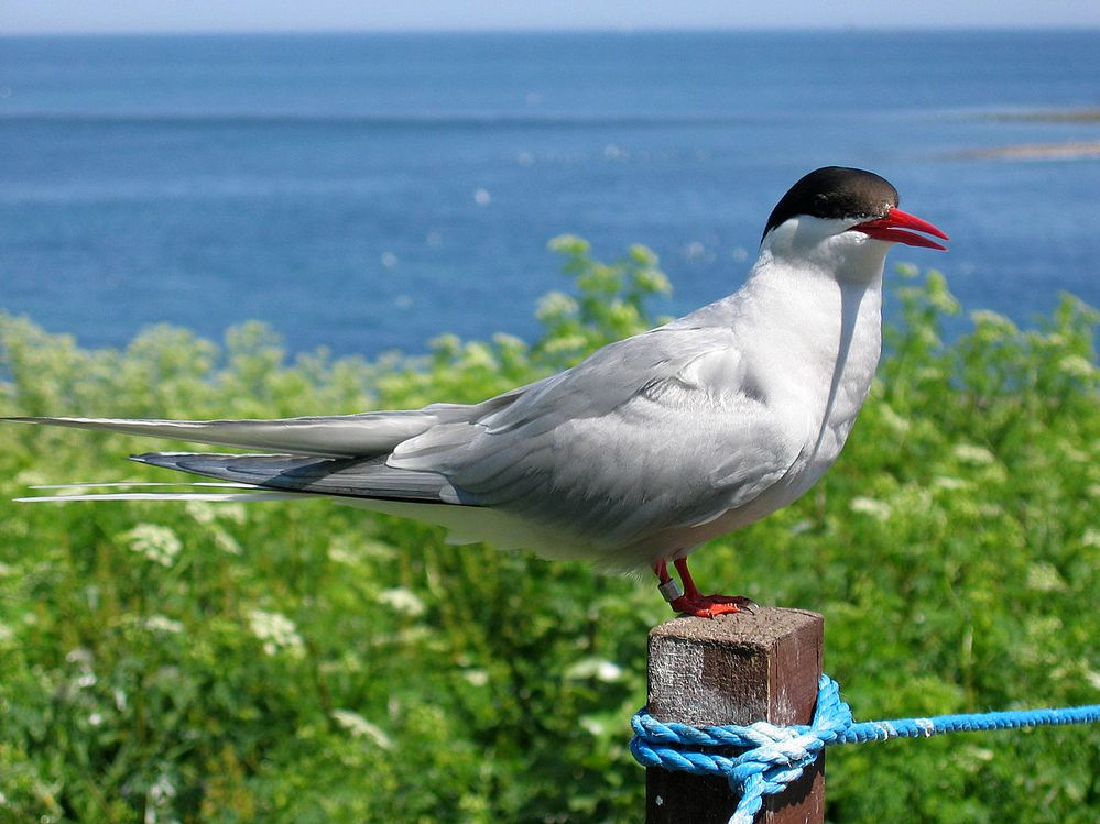 2009_07_02_-_Arctic_tern_on_Farne_Islands_-_The_blue_rope_demarcates_the_visitors'_path.JPG