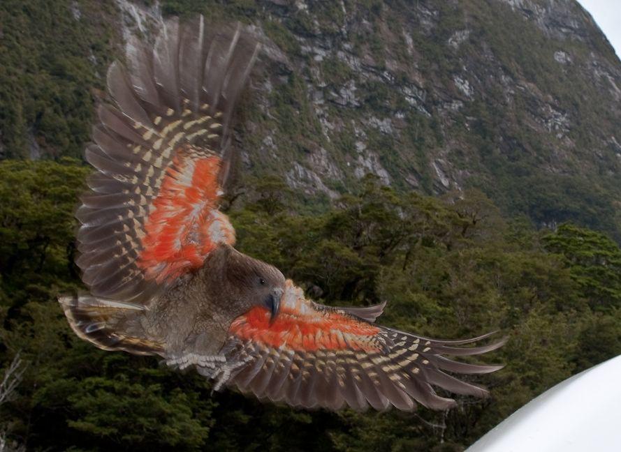 Kea_about_to_land,_displaying_orange_underside_of_wing.jpg