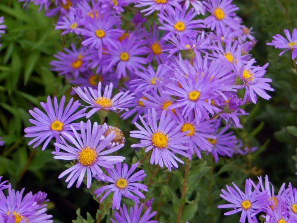 Asteraceae_-_Aster_amellus.jpeg