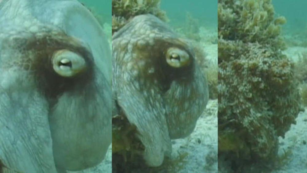 octopus-camouflage-roger-hanlon-620.jpg