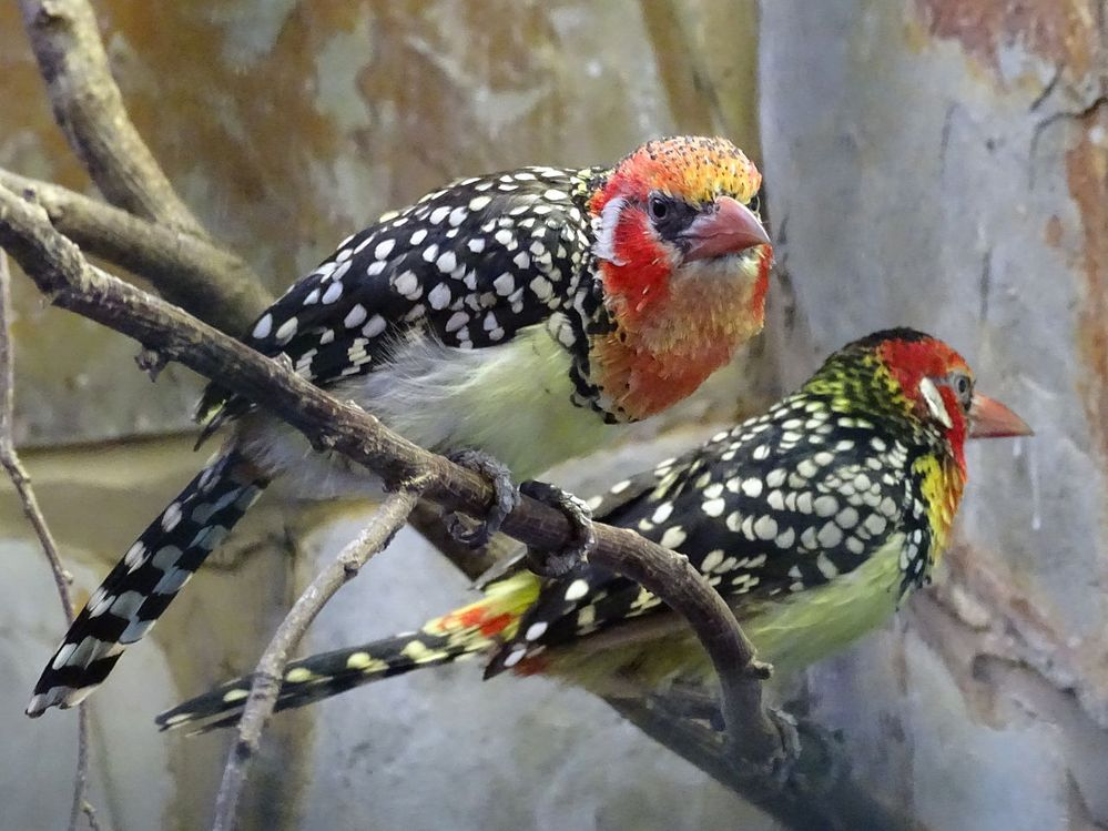 1280px-Red-and-yellow_Barbet_1.jpeg
