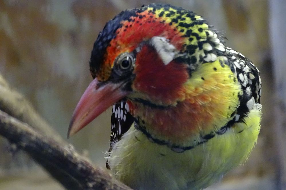 1280px-Red-and-yellow_Barbet_2.jpeg