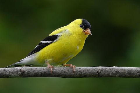 gold-finch-171861192-resized-58a6ea623df78c345b623869 (1).jpg