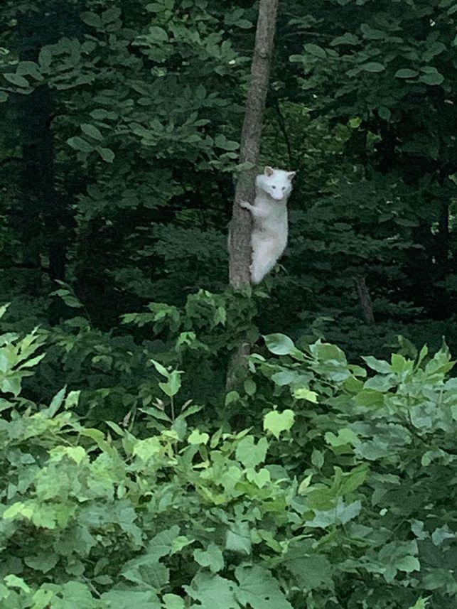 28fjx-albino-raccoon.jpg