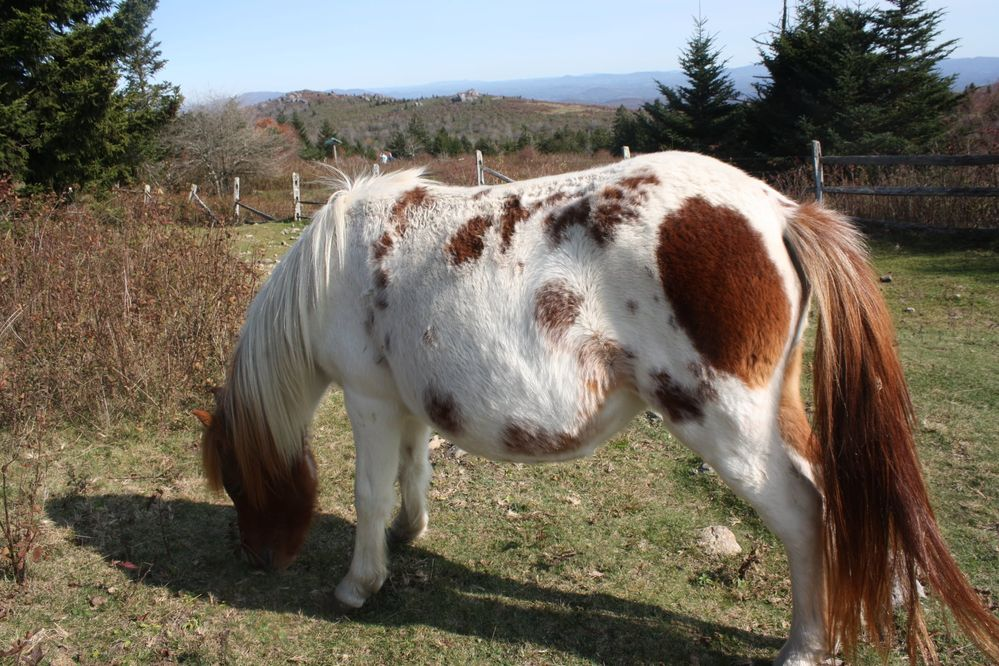 Wild pony at Grayson Highlands State Park