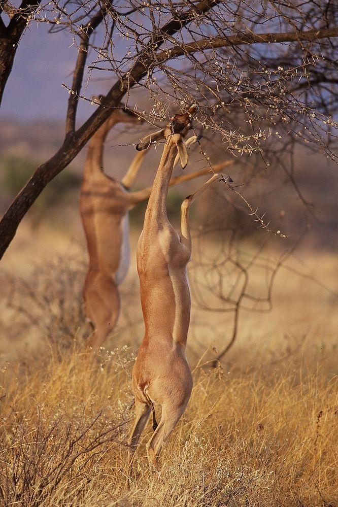 Gerenuks_in_Samburu.jpg