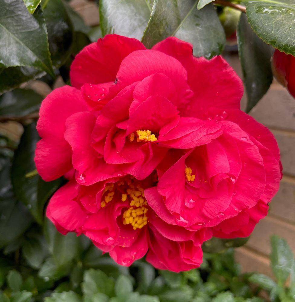 magenta rose.jpg