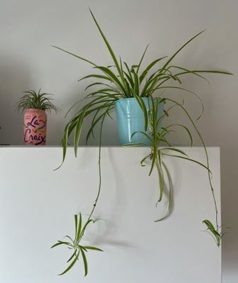 spider and air plants.jpg