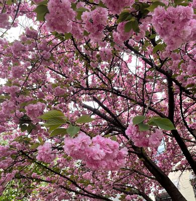 fluffy pink blossoms.jpg