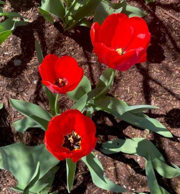 red tulips.jpg