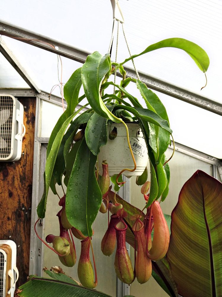 Nepenthes10-26-18.jpg