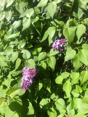 Lilacs 3.jpg