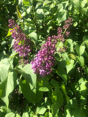 Lilacs 2.jpg