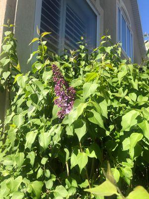 Lilacs 1.jpg