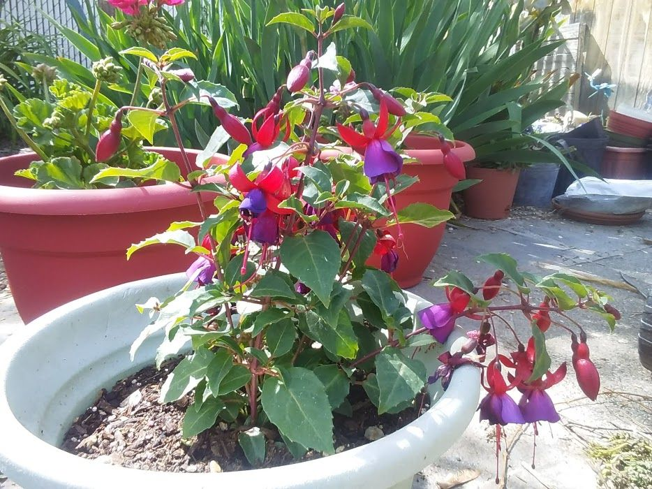 Fuchsia and Gardenia
