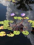 14. Brookgreen Gardens Water Lily.jpg