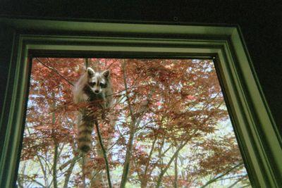 Mommy Raccoon, 2012 - Looking in Office Window - 2.JPG