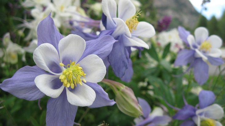 colorado's state flower.jpg