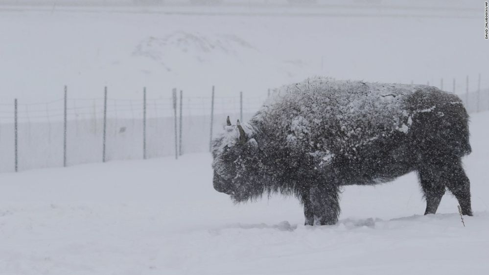 bison in the snow.jpg