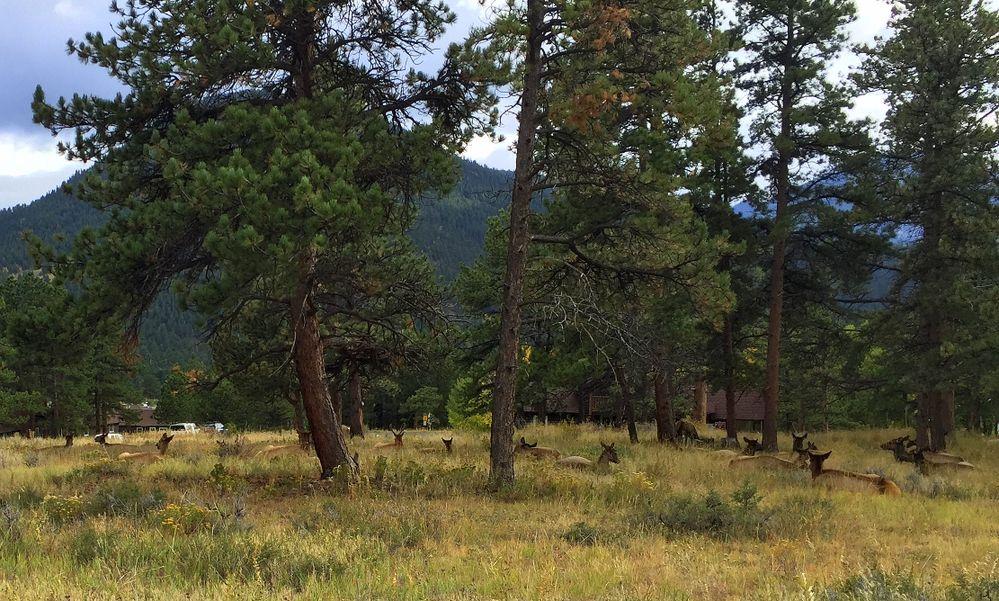 elk resting rmnp.JPG