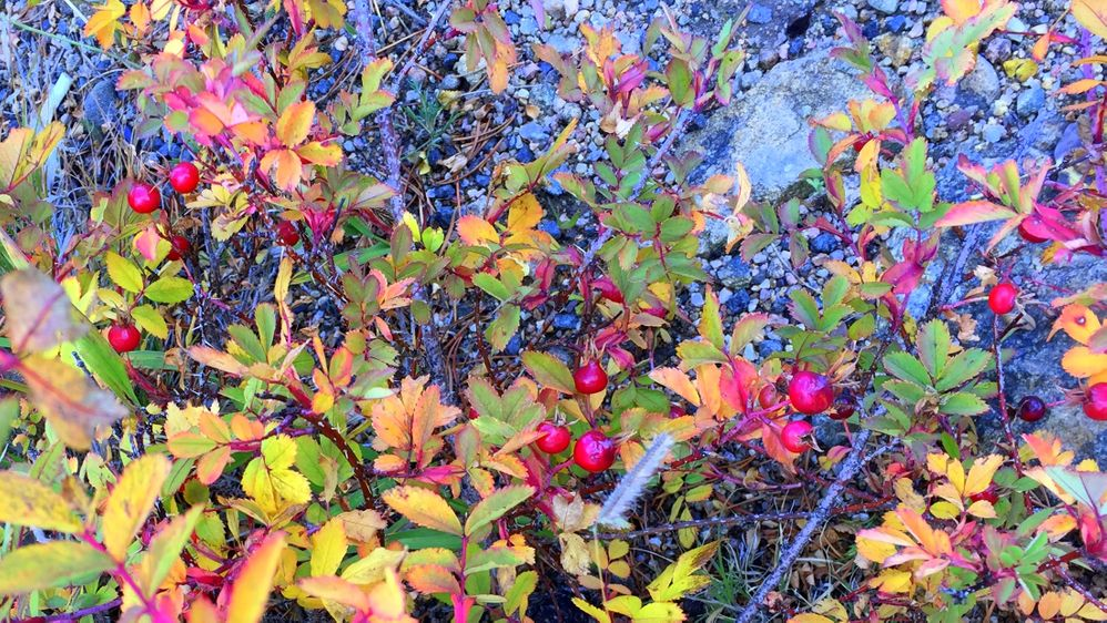 Wild roses cover the ground.