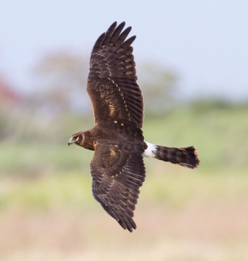 Northern_Harrier2_by_Dan_Pancamo.jpg