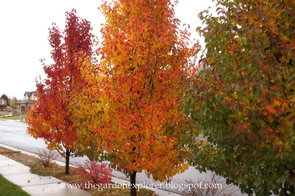 Pear trees in fall