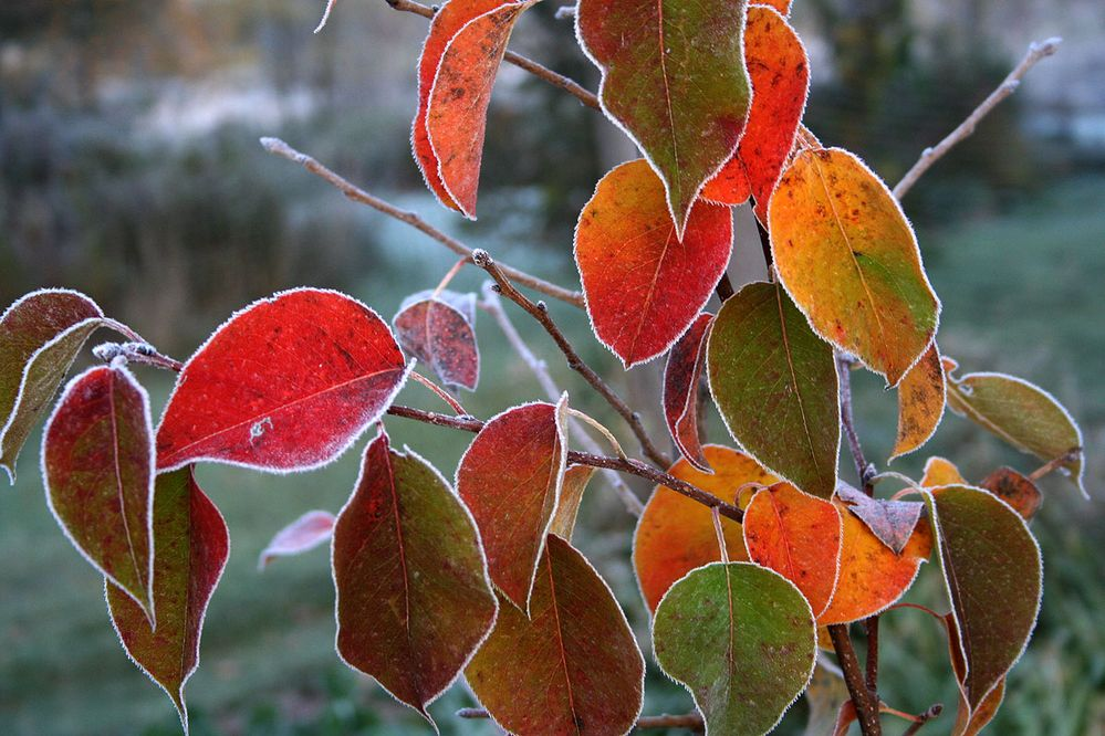 Frosted fall pear leaves