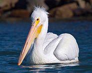 Mikebaird_-_American_White_Pelican_(Pelecanus_erythrorhynchos_)_(bird)_in_Mo_(by).jpg