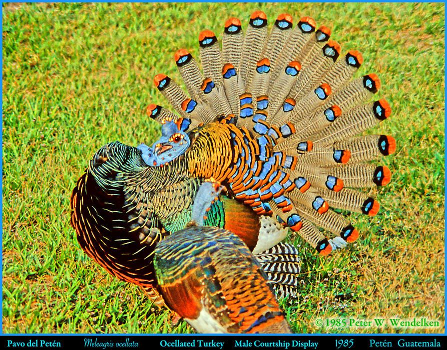 ocellated turkey.jpg