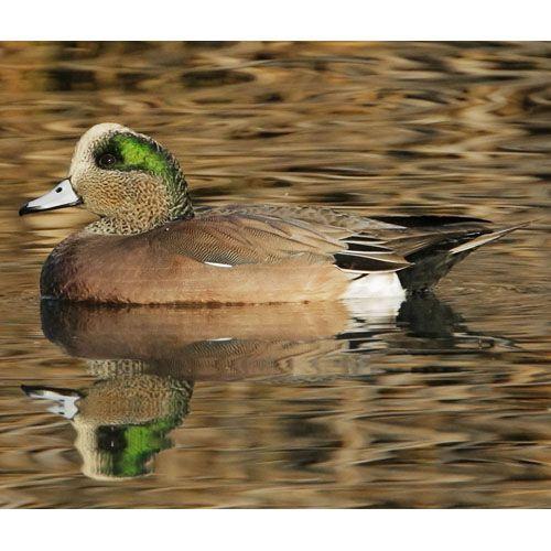 http://www.birdweb.org/birdweb/bird/american_wigeon