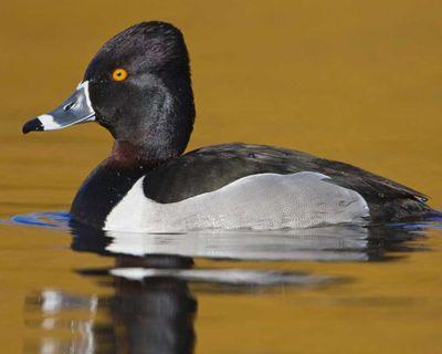 http://www.audubon.org/field-guide/bird/ring-necked-duck