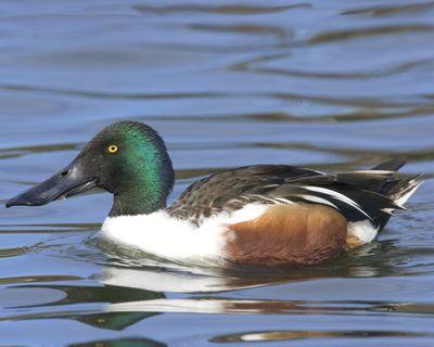 http://www.audubon.org/field-guide/bird/northern-shoveler
