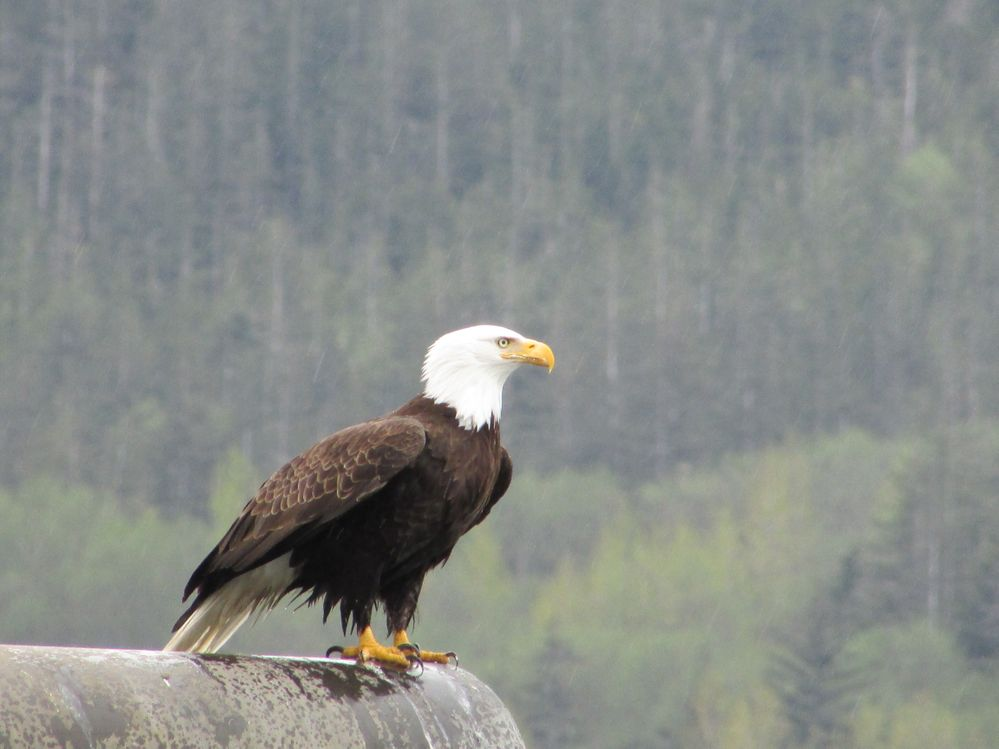 Bald Eagle sitting on post in front of ship