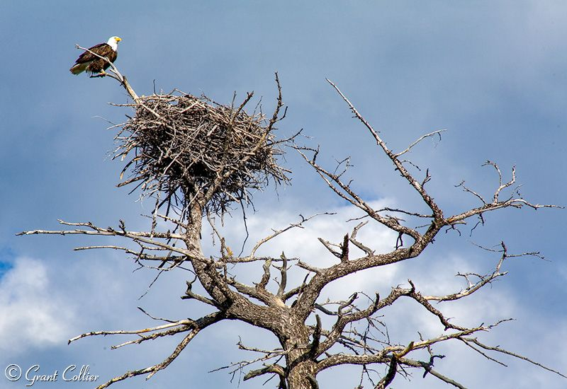 Grant Colliers Yellowstone baldie nest pic