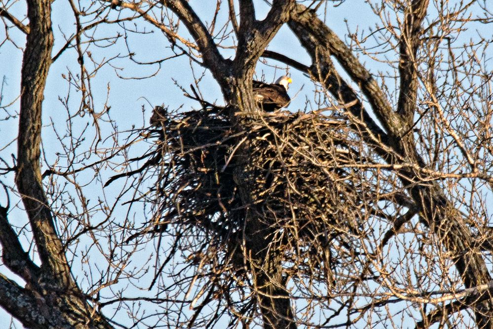 Bald eagle nest pic found on the web
