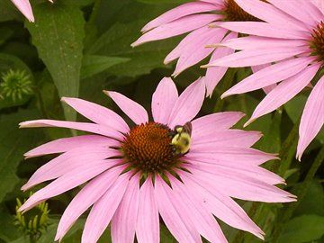 bee and coneflower.jpg