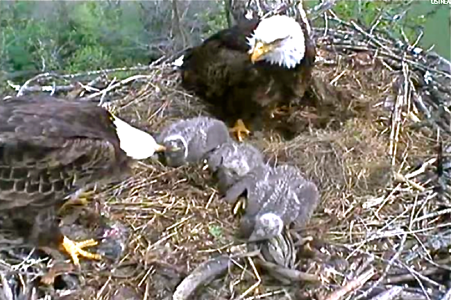 Decorah_eaglets_being_fed_by_parents,_Spring_2012.png