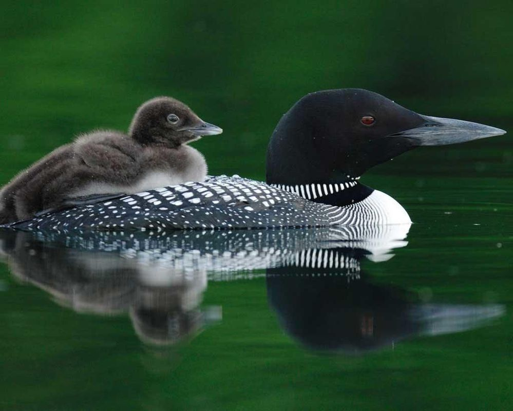 Common_Loon_l27-1-011_l_1.jpg