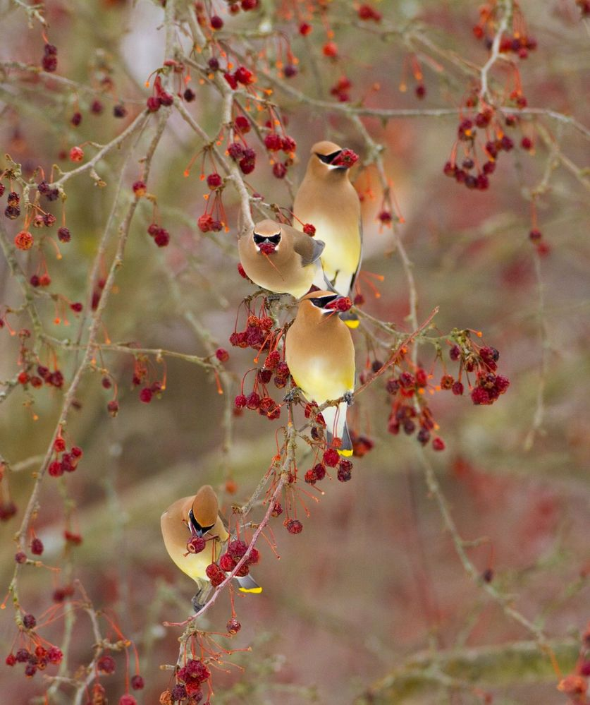 CWaxwings-Reed-1280x1527.jpg