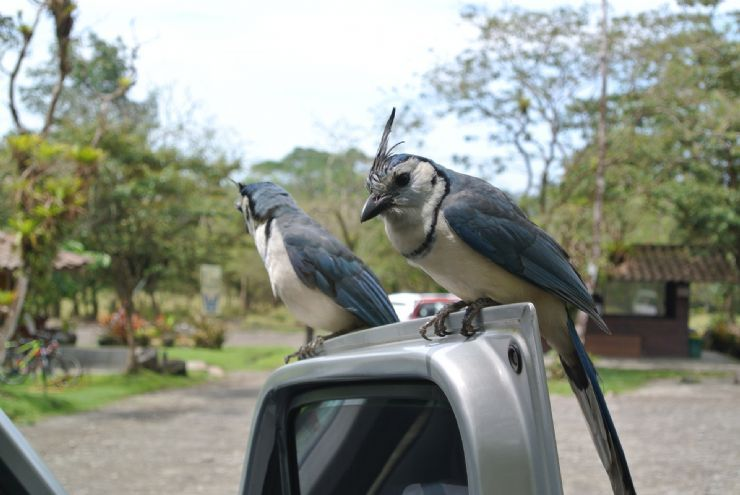 full-whitet-hroated-magpie_jay.jpeg
