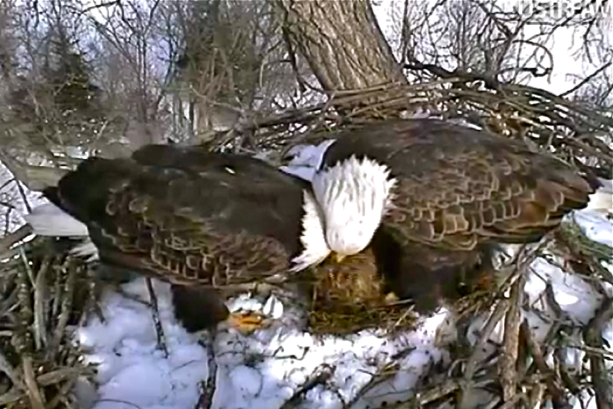 Decorah_bald_eagle_parents.png