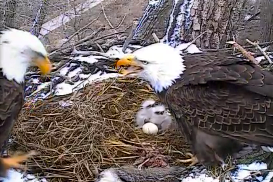 Second_Decorah_eaglet_born_in_2014.png