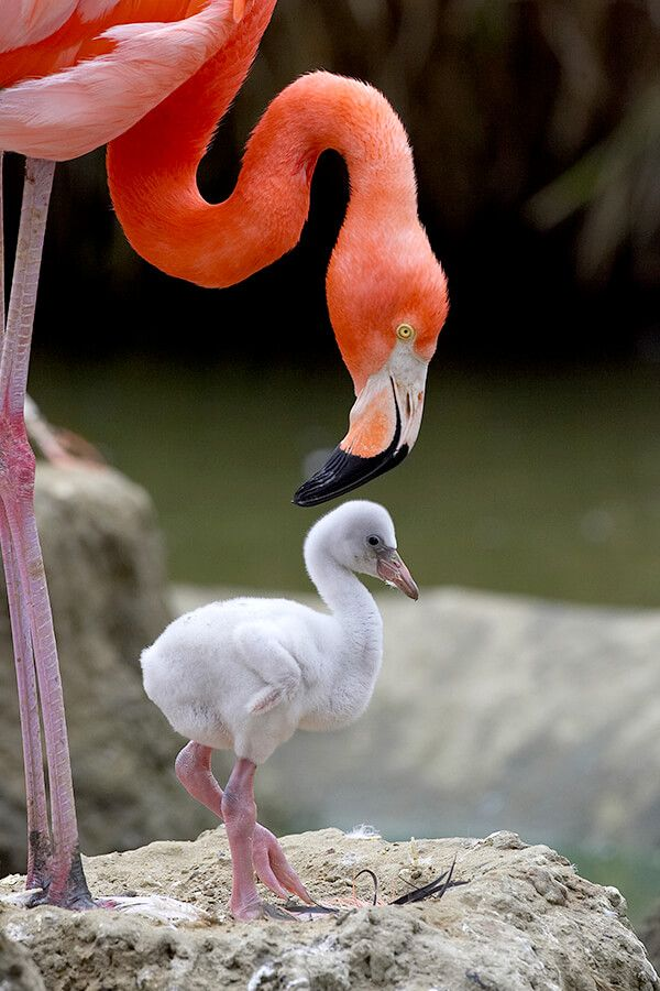 animals-flamingo-chick.jpg