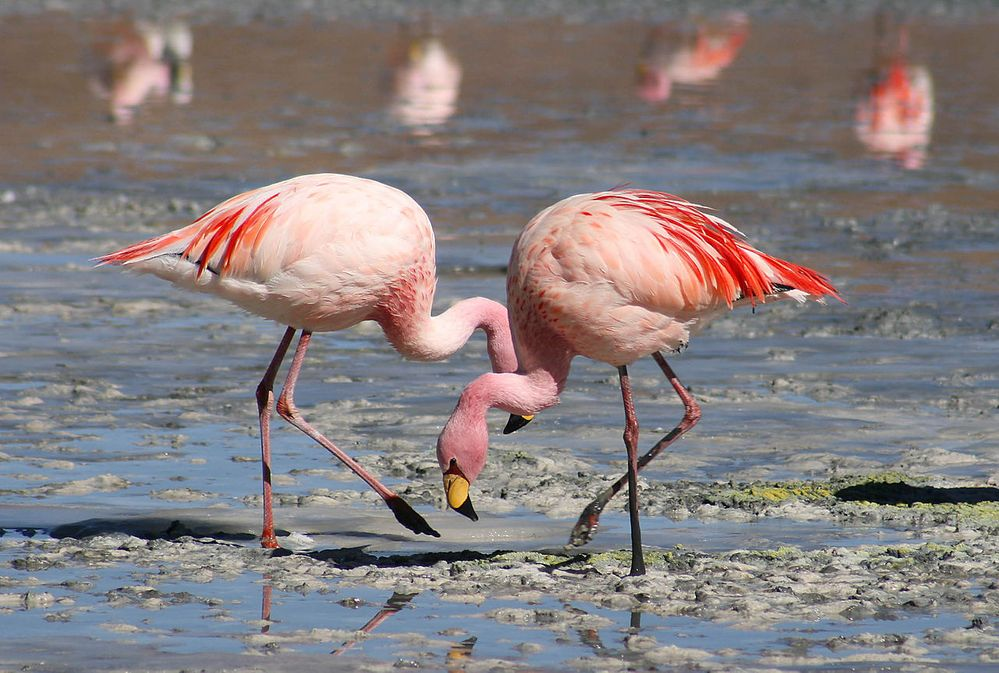1280px-Flamingos_Laguna_Colorada.jpg