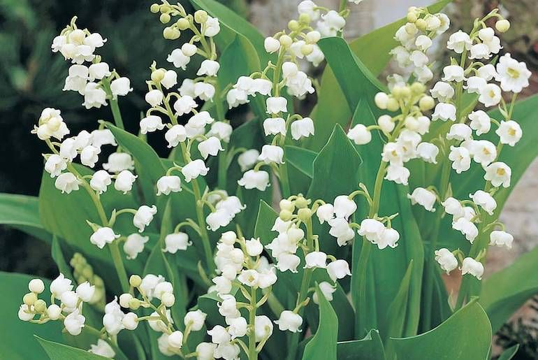 lily-of-the-valley-spring-flowering.jpg
